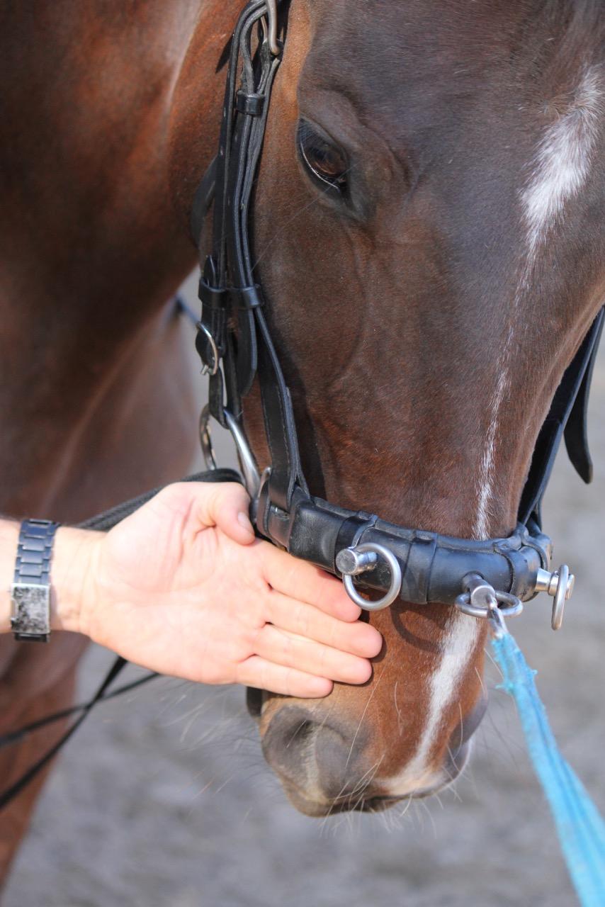 kinnriemen pferd zahnwurzeln